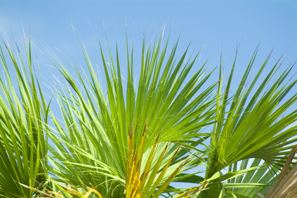 palmetto palm tree leaves and fronds
