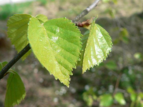 Enjuague para el cabello de hojas de abedul