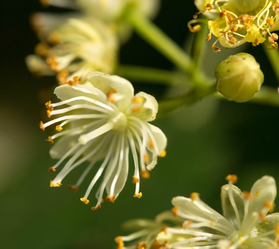 Enjuague de flor de tilo para el cabello